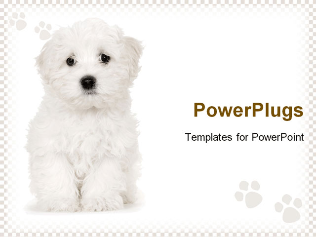 A Image Of Puppy Maltese Dog Sitting Powerpoint Template Background Of Puppy Animals Pets